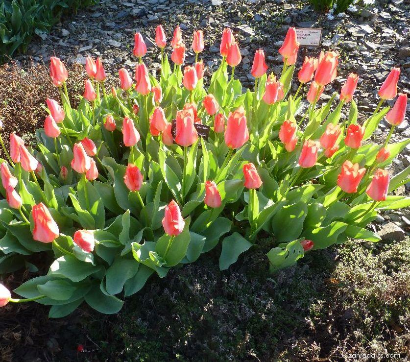 Tulipán Kaufmannův Shakespeare (Tulipa kaufmanniana)