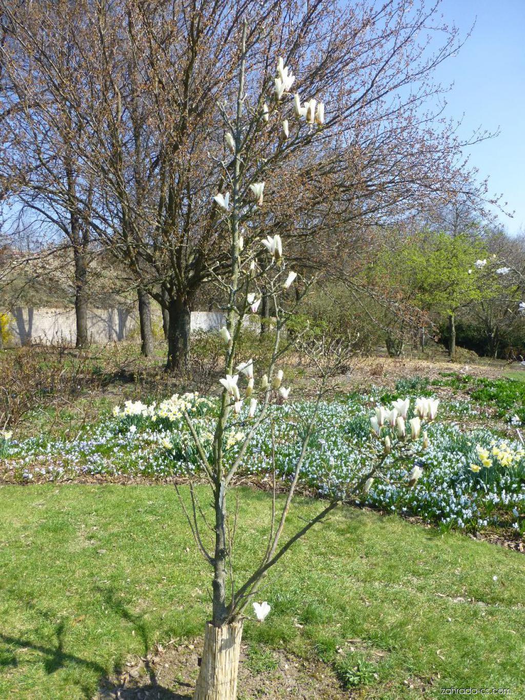Šácholan válcovitý NA 60714 - habitus v květu (Magnolia cylindrica)
