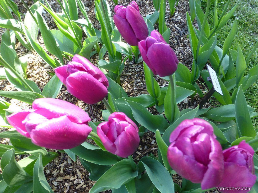 Tulipán - Tulipa Purple Prince