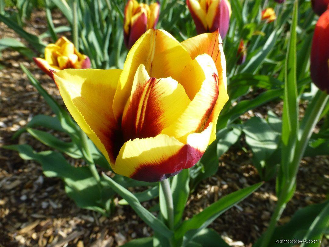 Tulipán Gavota - květ (Tulipa x hybrida)