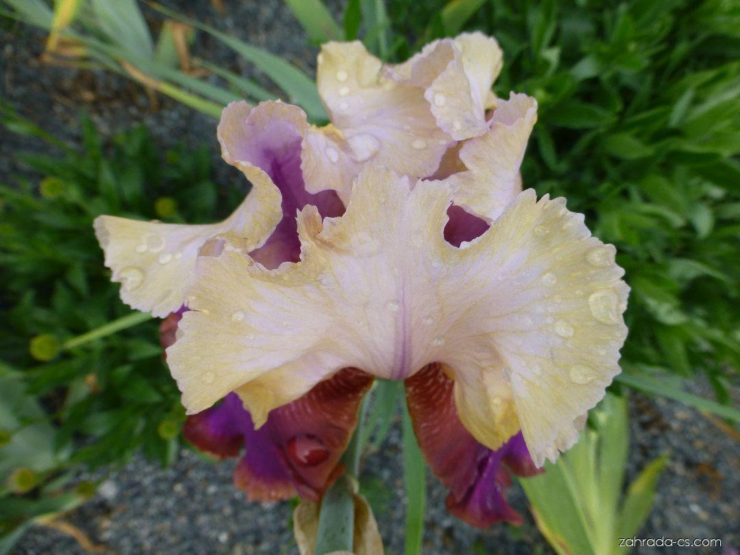 Kosatec zahradní - Iris barbata Burgermeister