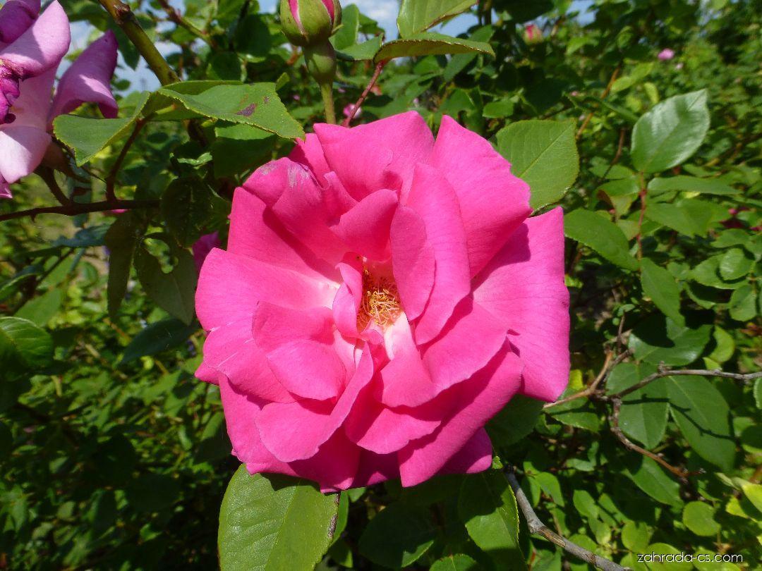 Růže Zéphirine Drouhin - květ (Rosa)
