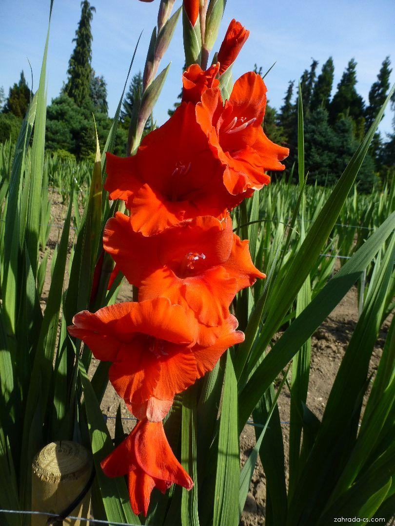 Mečík - Gladiolus Indiánské léto