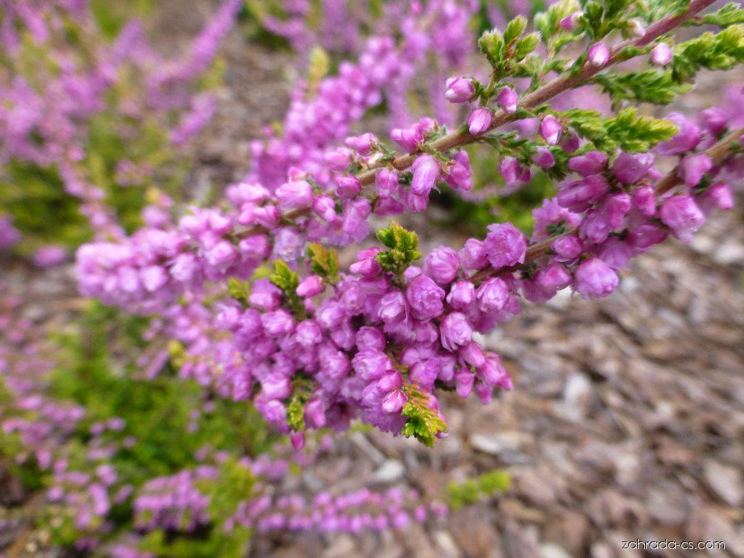 Vřes obecný - Calluna vulgaris Golden Wonder
