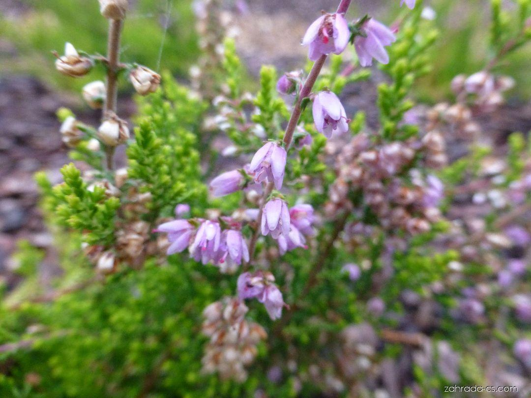 Vřes obecný Lutescens (Calluna vulgaris)