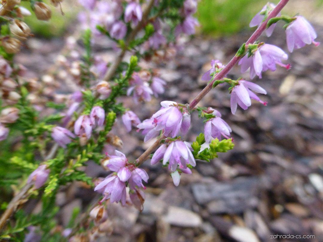 Vřes obecný Lutescens - větévka s květy (Calluna vulgaris)
