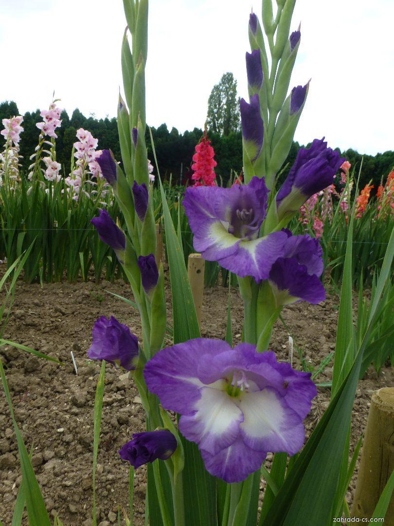 Mečík Jason (Gladiolus x hybridus)