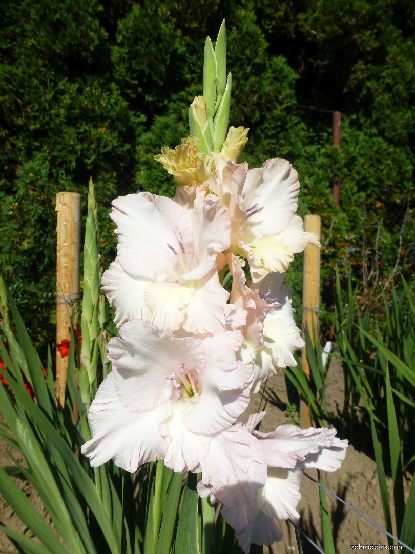 Mečík Clio (Gladiolus x hybridus)
