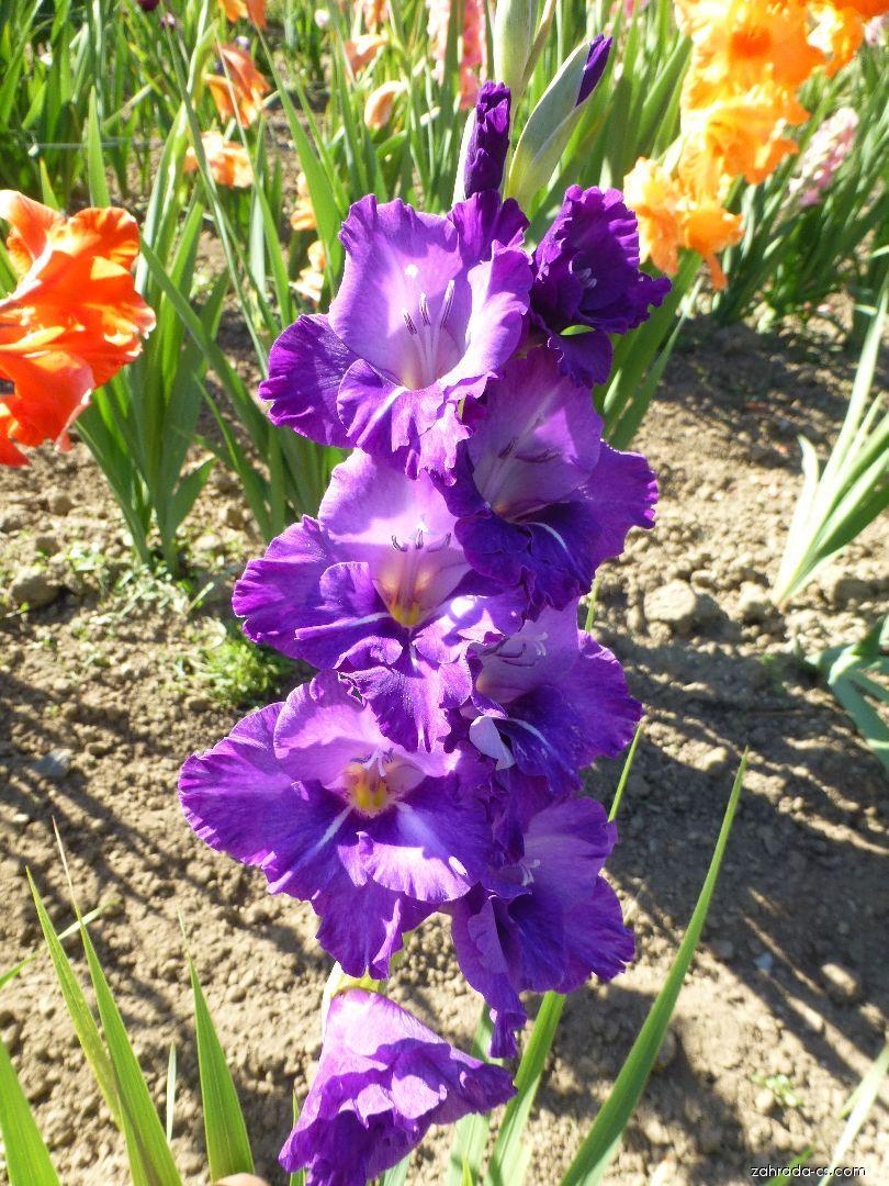 Mečík Chlem (Gladiolus x hybridus)