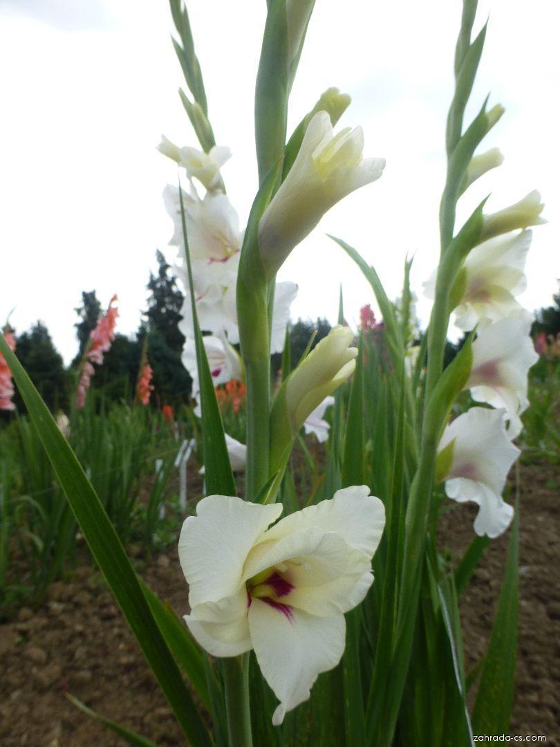 Mečík Albenga (Gladiolus x hybridus)