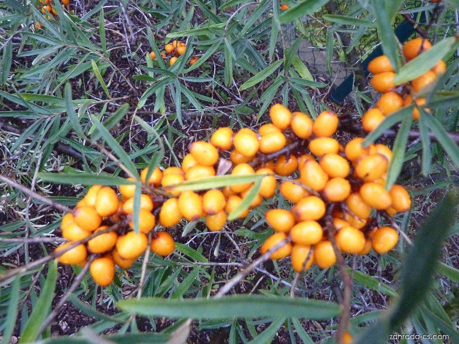 Rakytník řešetlákový Leikora - větévka s plody (Hippophae rhamnoides)