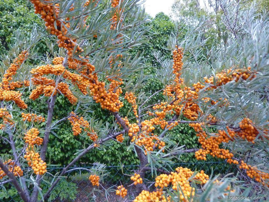 Rakytník řešetlákový - Hippophae rhamnoides Orange Energy