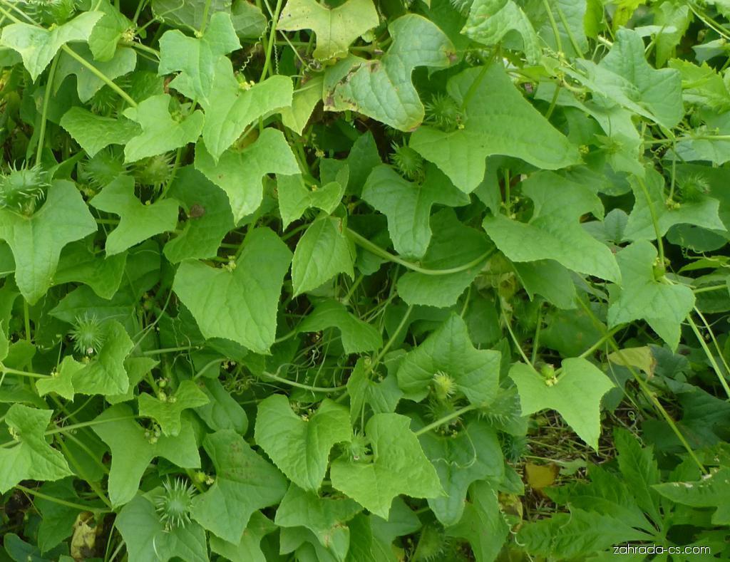 Ačokča - listy a plody (Cyclanthera brachystachya)