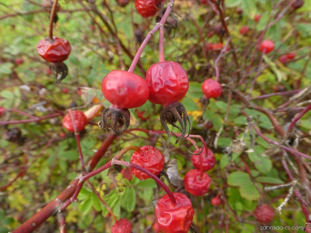 Růže májová - Rosa majalis