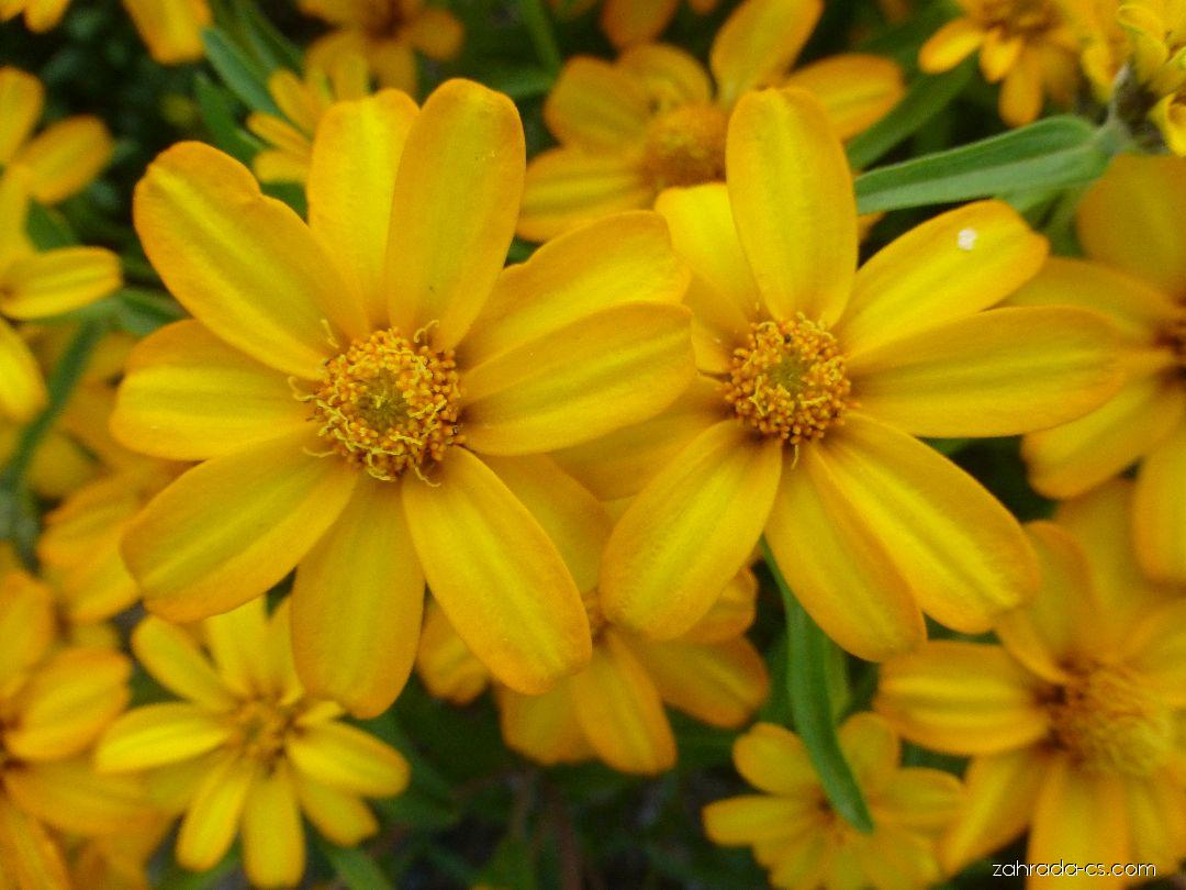 Ostálka úzkolistá Crystal Yellow (Zinnia angustifolia)