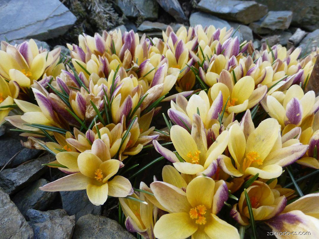 Šafrán zlatý - Crocus chrysanthus Advance