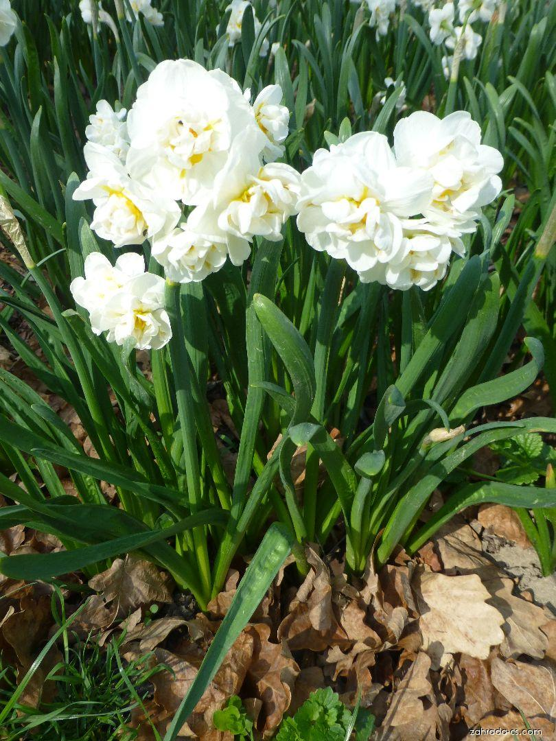 Narcissus Bridal Crown (narcis)
