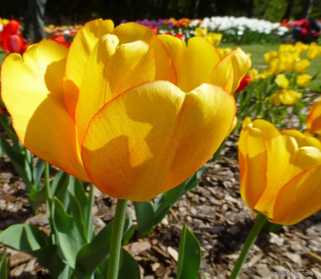 Tulipán - Tulipa Blushing Apeldoorn