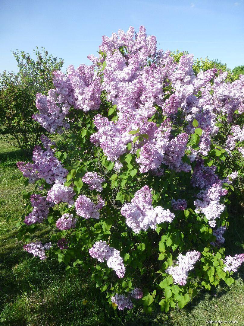 Šeřík hyacintokvětý - Syringa x hyacinthiflora Maiden s Blush