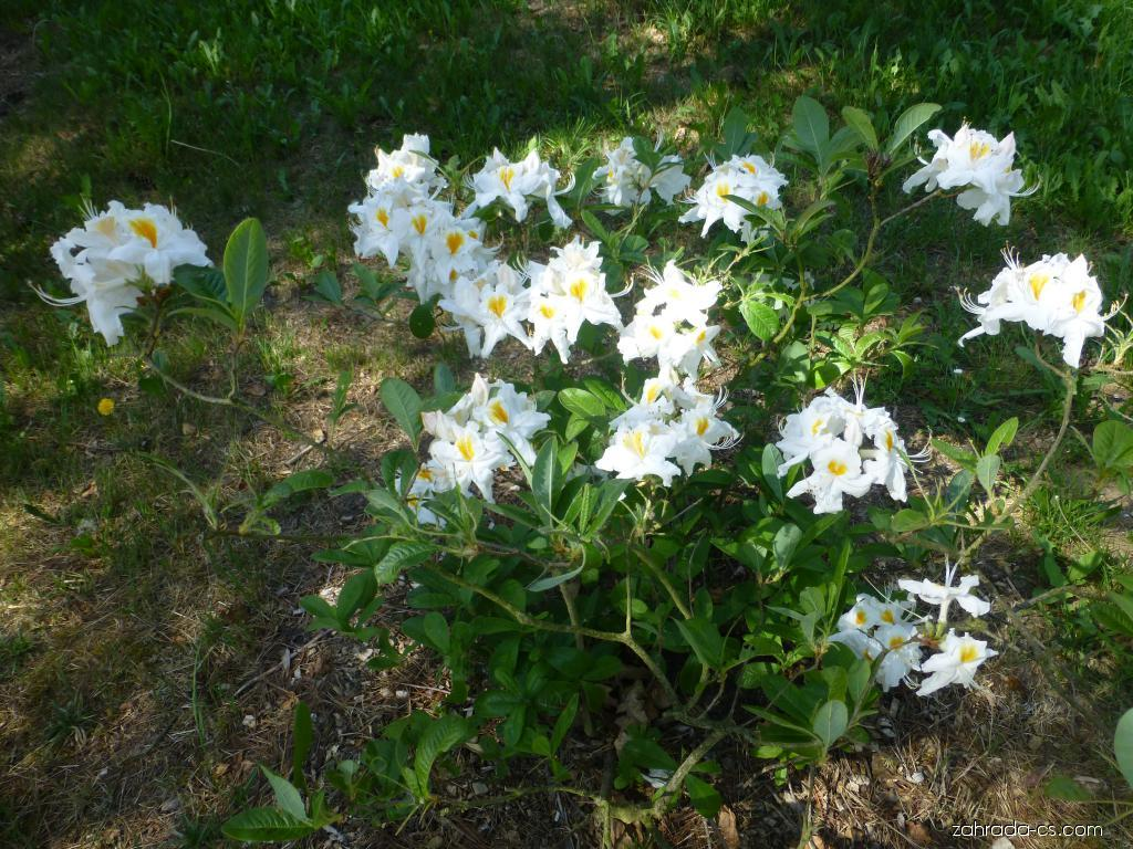Pěnišník - Rhododendron Schneegold