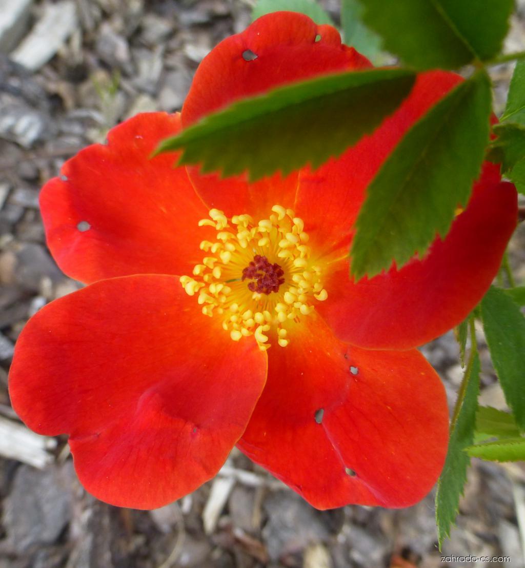 Růže páchnoucí Bicolor - květ (Rosa foetida)