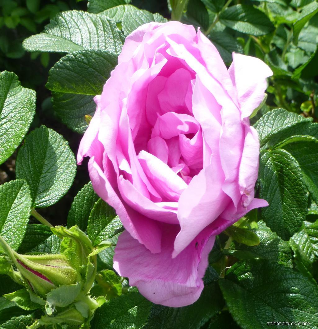 Růže svraskalá - Rosa rugosa Foxi