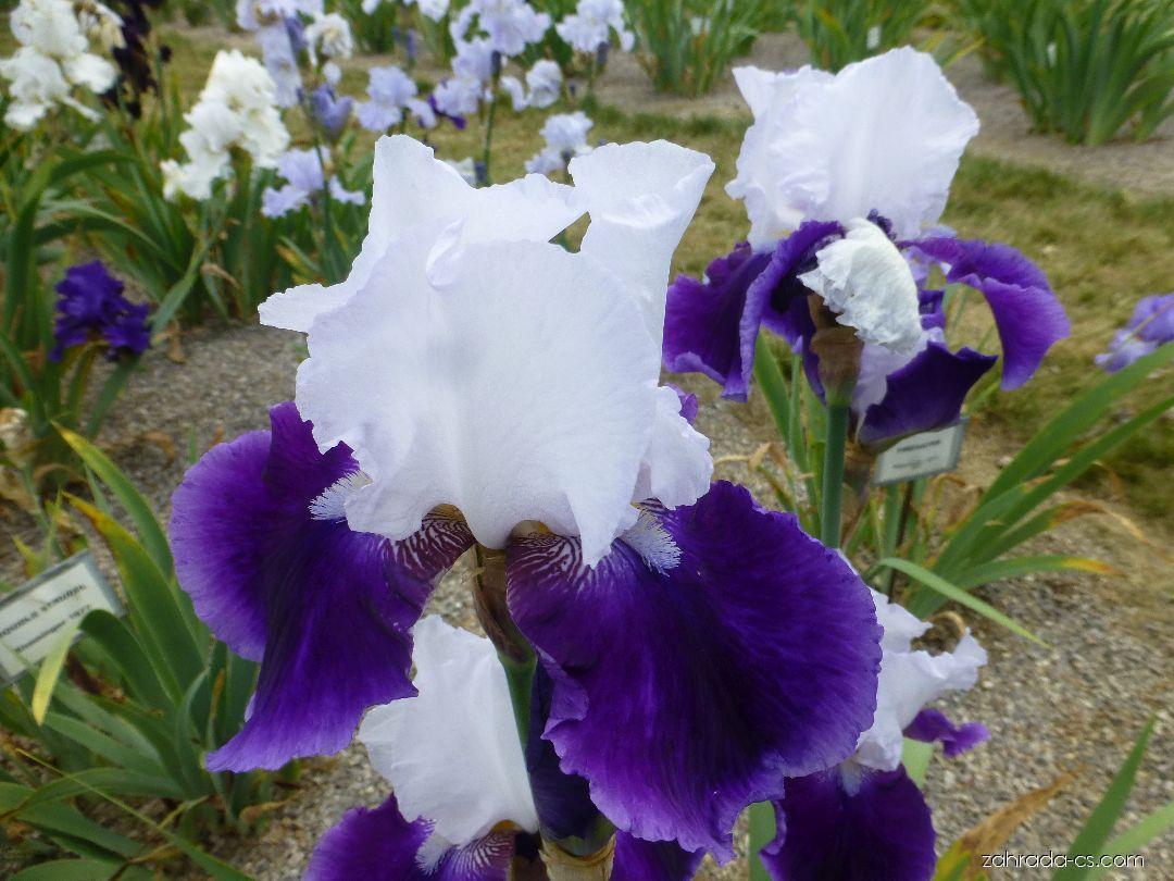 Kosatec zahradní - Iris barbata Snow Mound