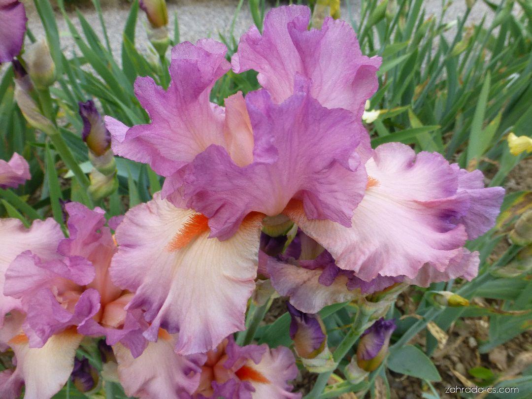 Kosatec zahradní - Iris barbata Believe in Magic