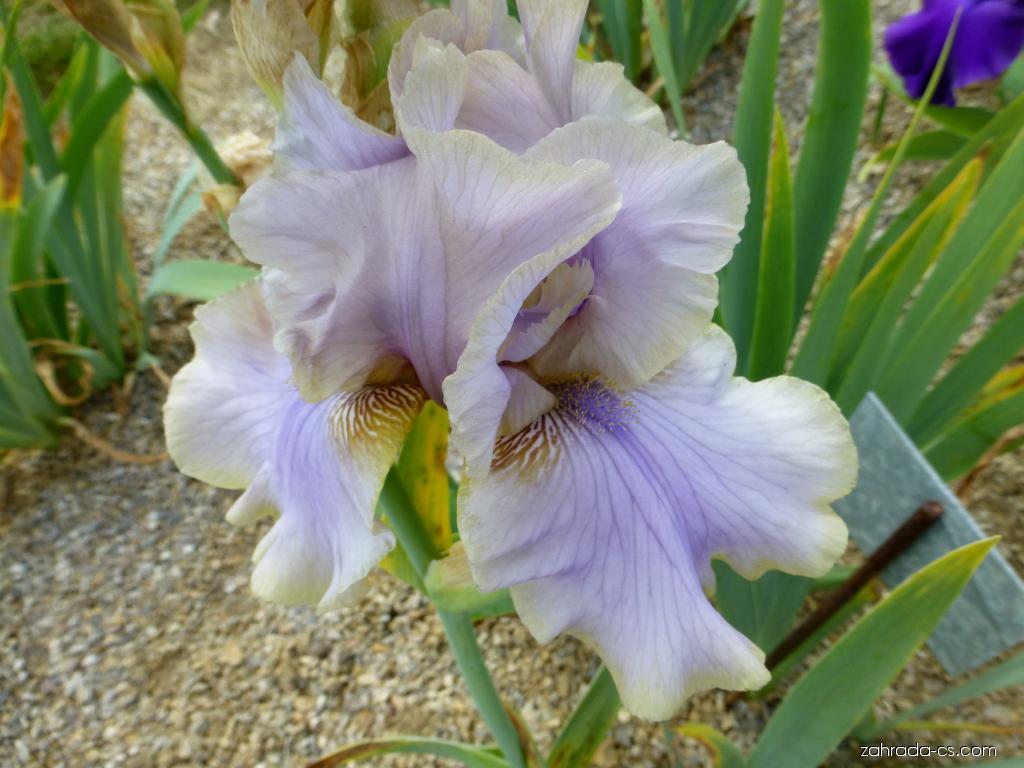 Kosatec zahradní - Iris barbata Evening Mist
