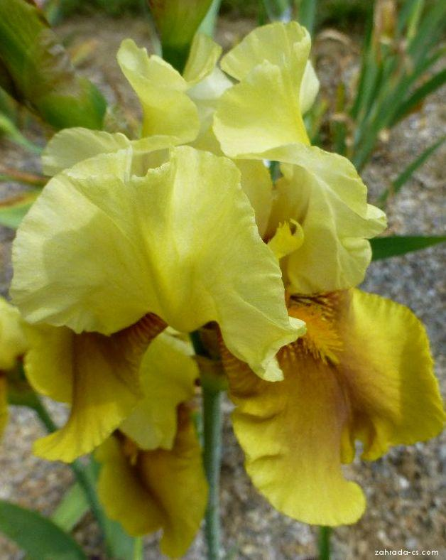 Kosatec zahradní - Iris barbata Bayberry Candle