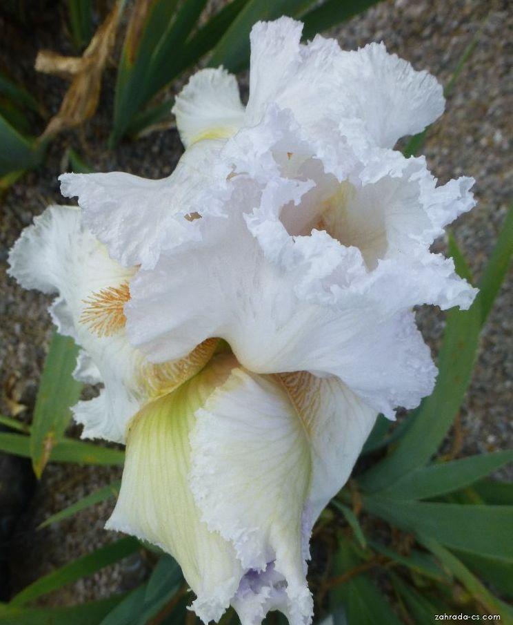 Kosatec zahradní - Iris barbata Miss Dolly Dollars