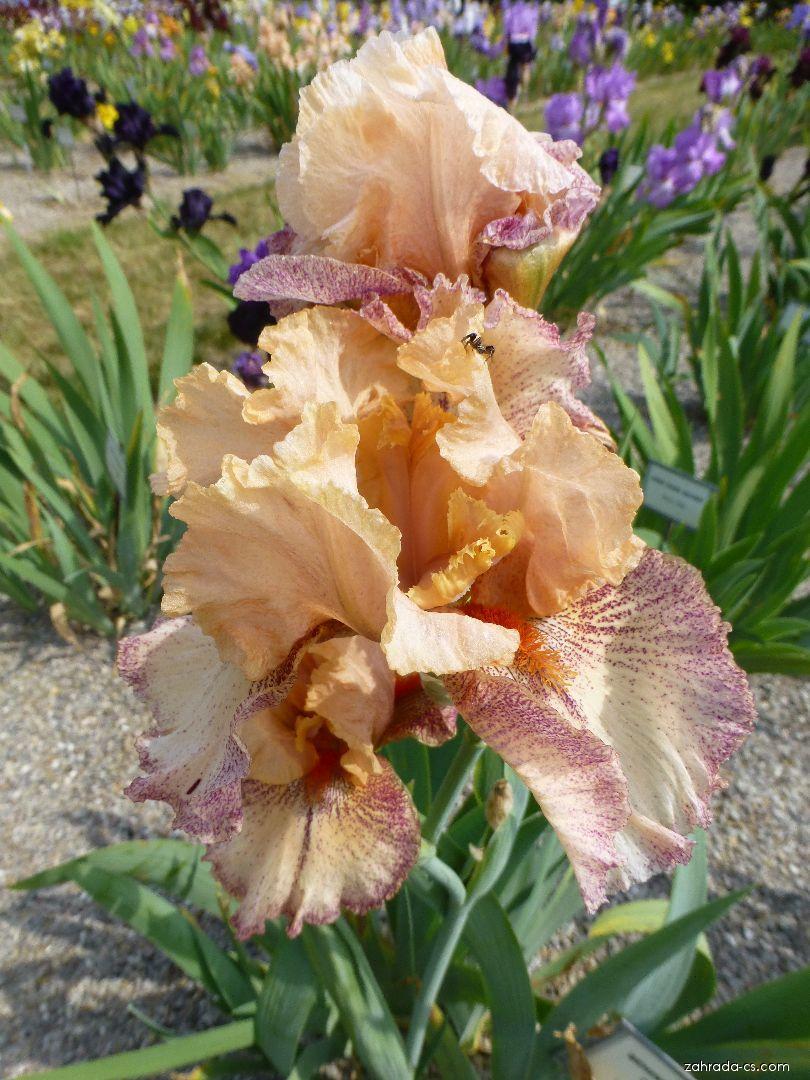 Kosatec zahradní - Iris barbata Behind Closed Doors