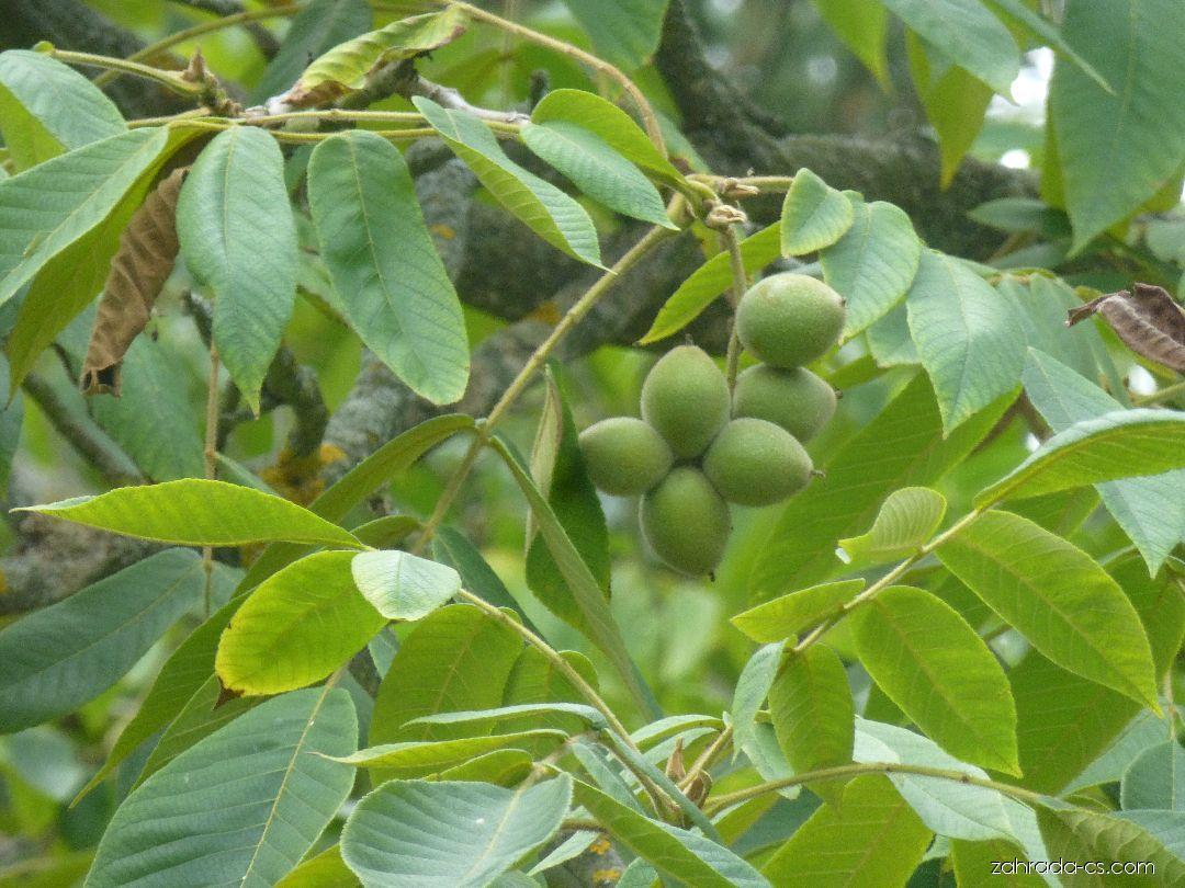 Ořešák japonský - větévka s plody (Juglans ailantifolia)