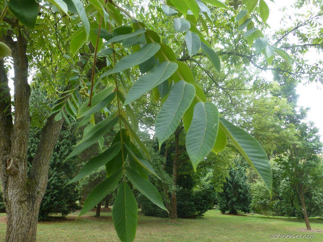 Ořešák japonský - větévka s listy (Juglans ailantifolia)