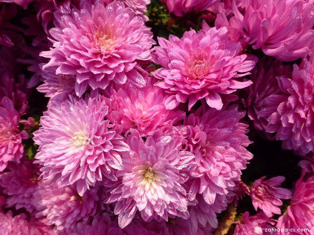 Listopadka zahradní - Chrysanthemum x grandiflorum Vanda
