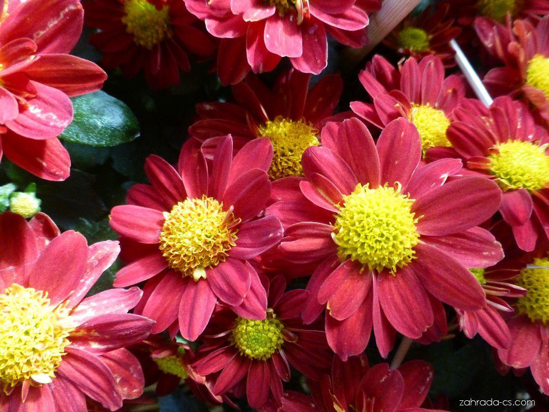 Listopadka zahradní - Chrysanthemum x grandiflorum Šárka