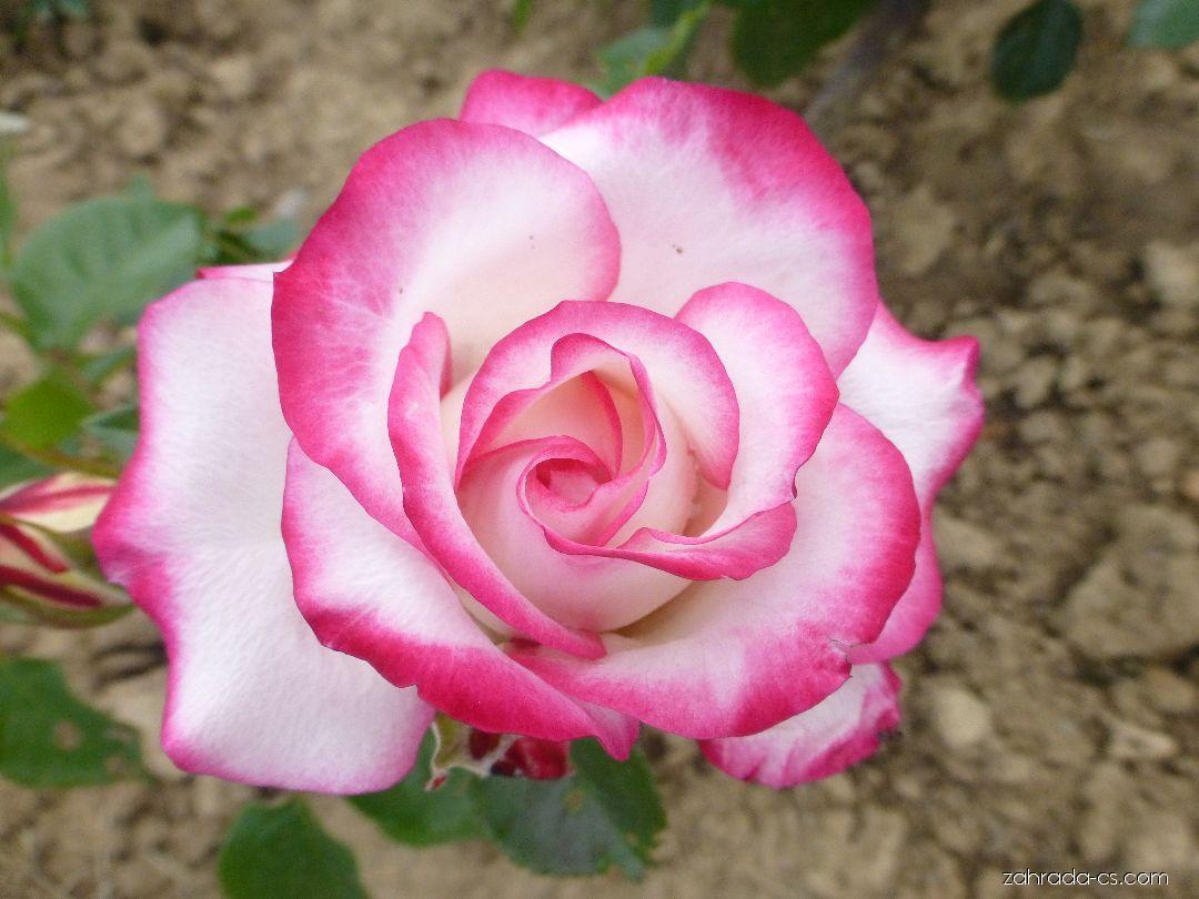 Růže - Rosa Kombination