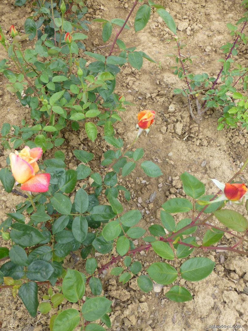 Růže - Rosa Sutter s Gold