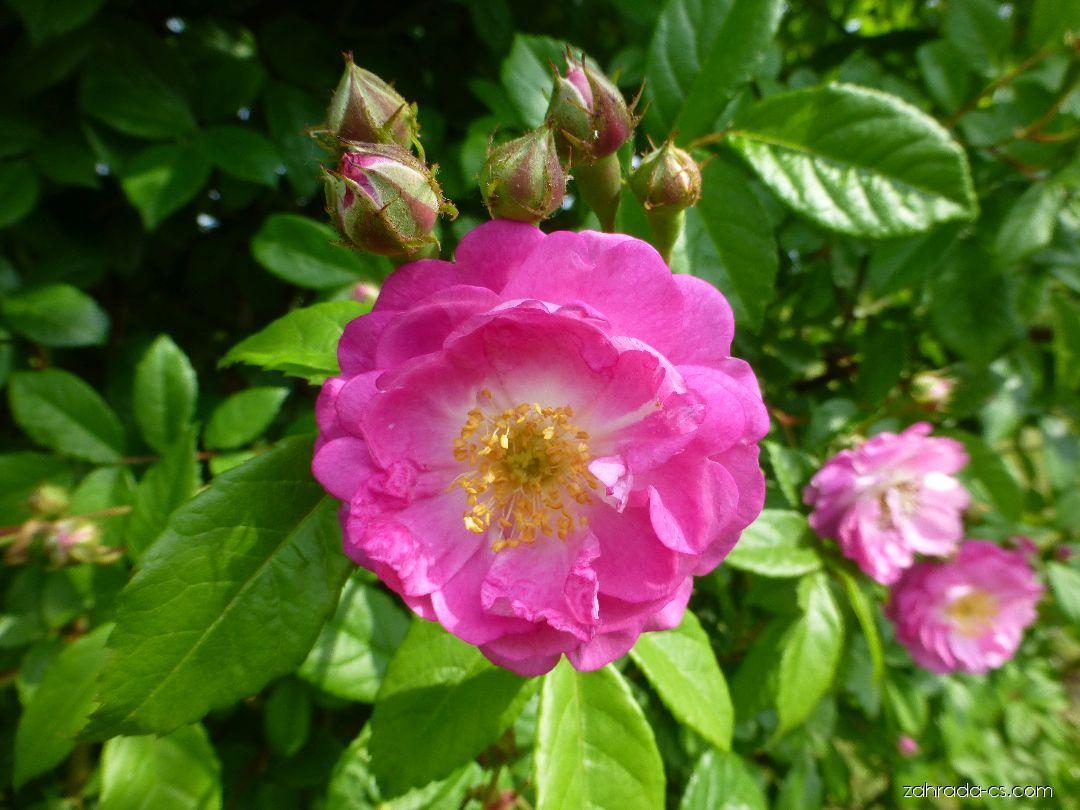 Růže - Rosa Geschwind s Nordlandrose