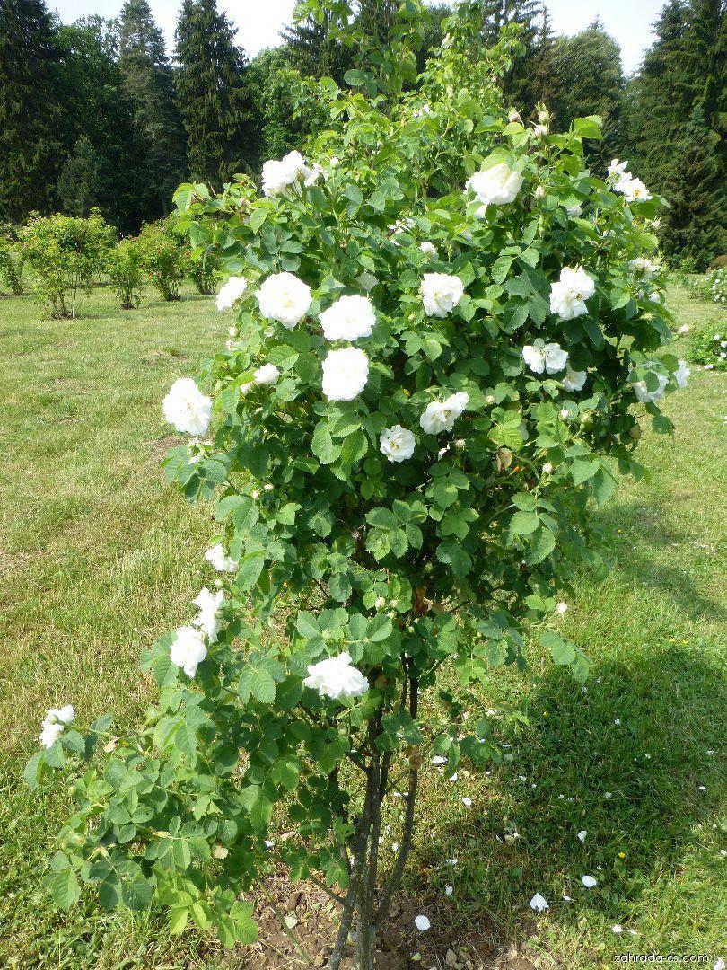 Růže - Rosa Frühlingsschnee