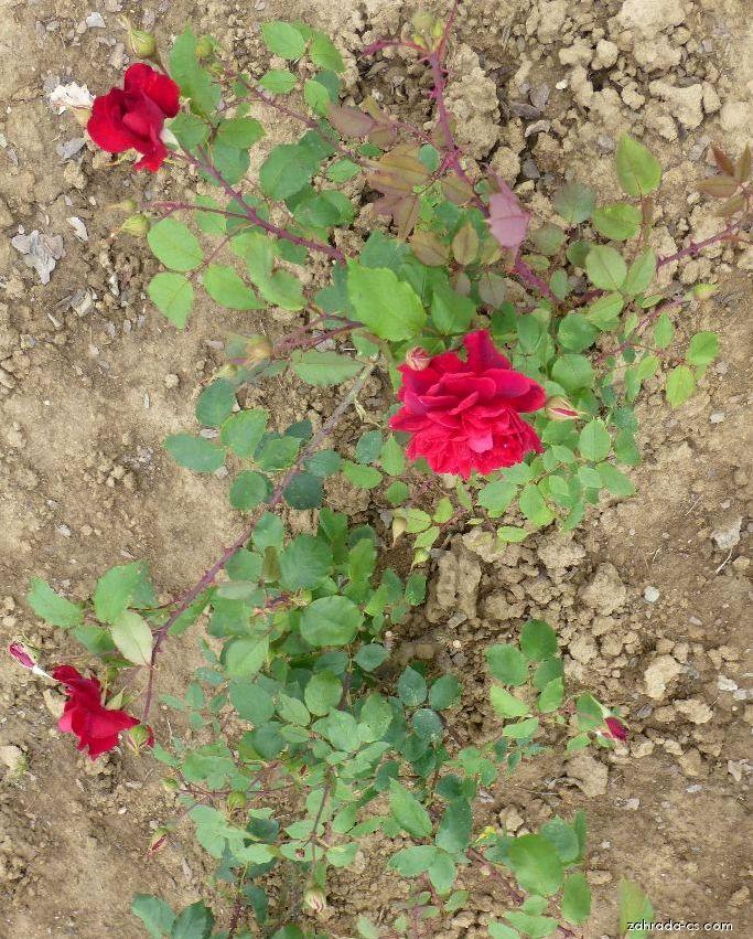 Růže - Rosa Bezruč