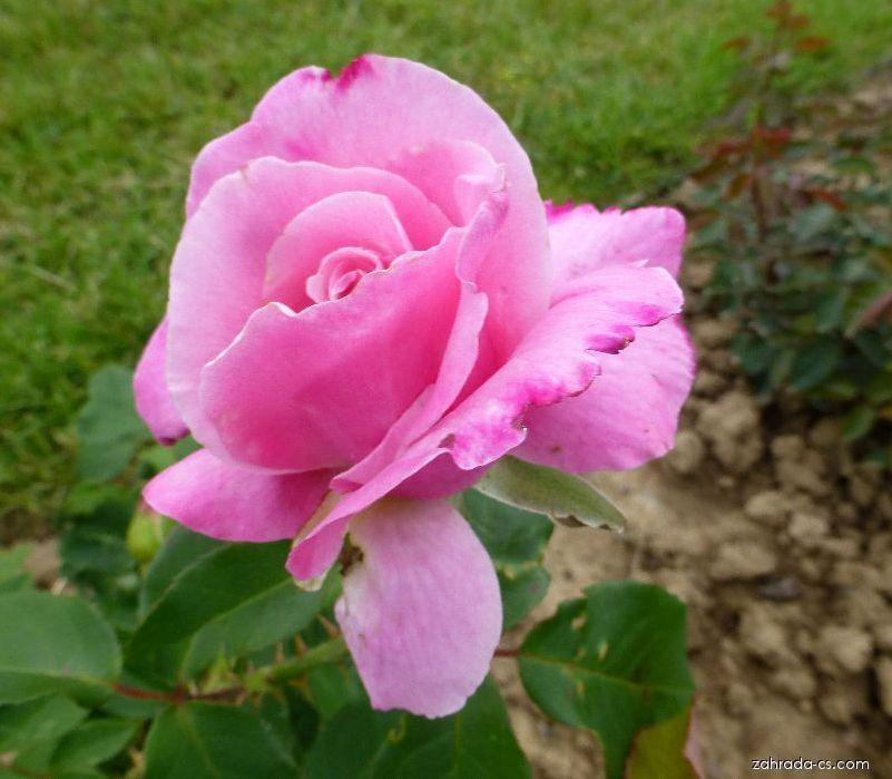 Růže - Rosa Jadis
