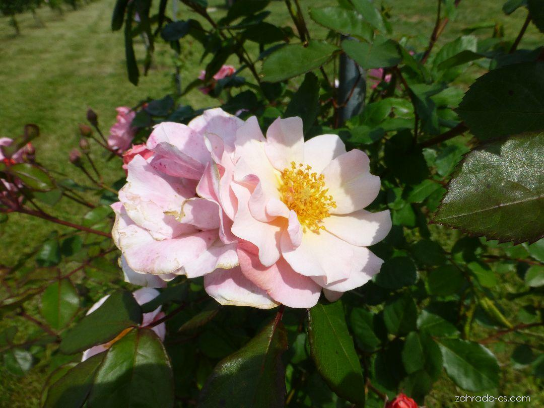 Růže - Rosa Clair Matin