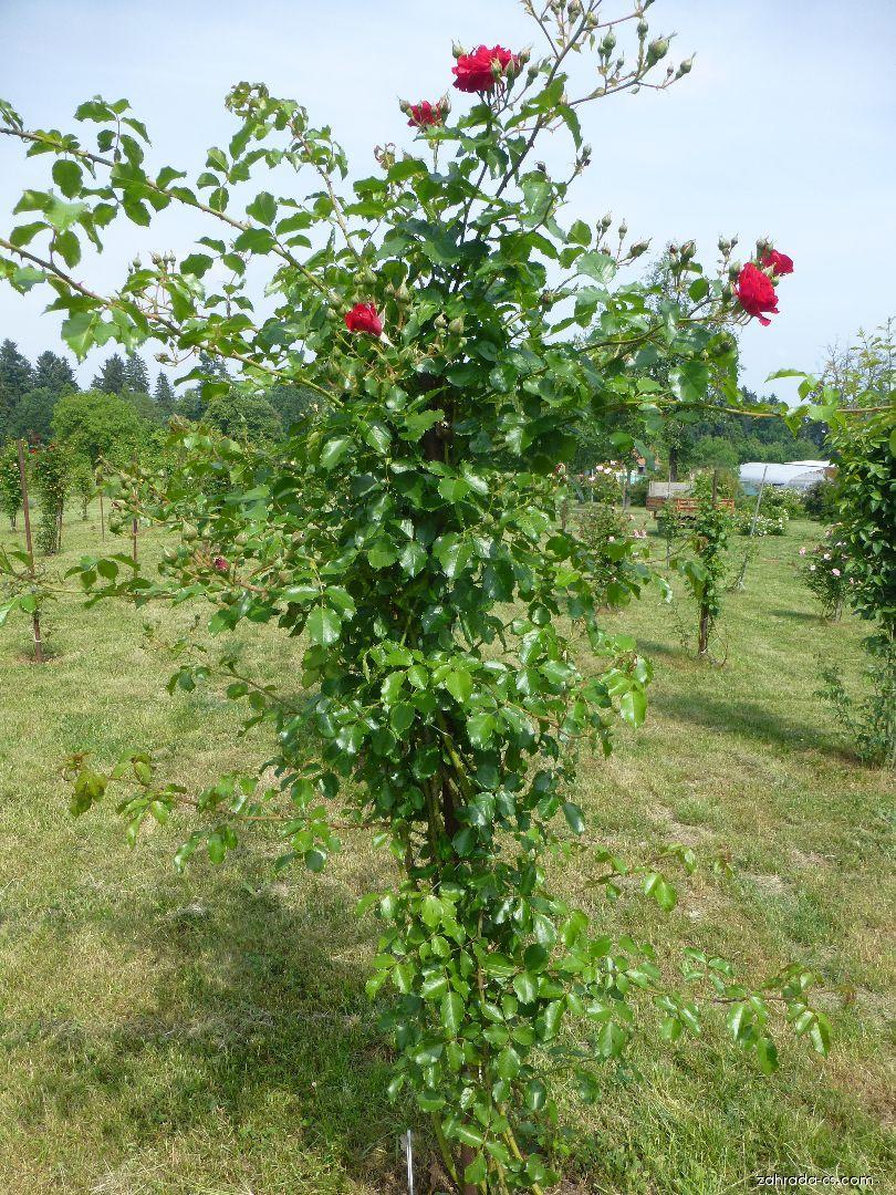 Růže - Rosa Ludvík Večeřa