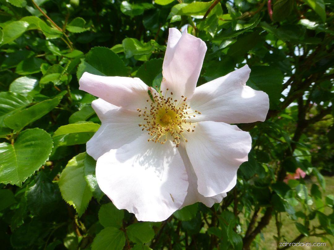 Růže - Rosa Pierre Gagnaire