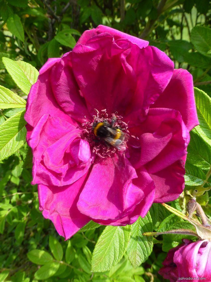 Růže - Rosa Rotes Phaenomen