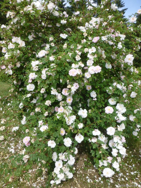 Růže Stanwell Perpetual (Rosa)