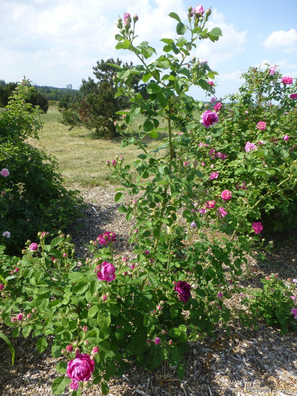 Růže - Rosa Great Western