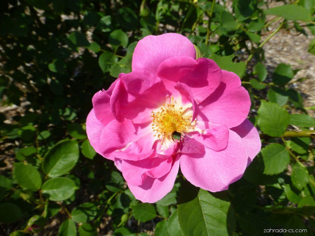 Růže - Rosa Adam Messerich