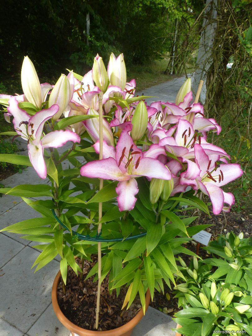 Lilie - Lilium x hybridum The Edge
